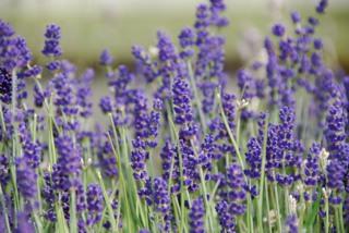 Lavandula angustifolia-Echter Lavendel_alt