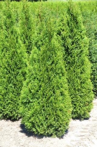 Thuja smaragd-Abendländischer Lebensbaum_alt