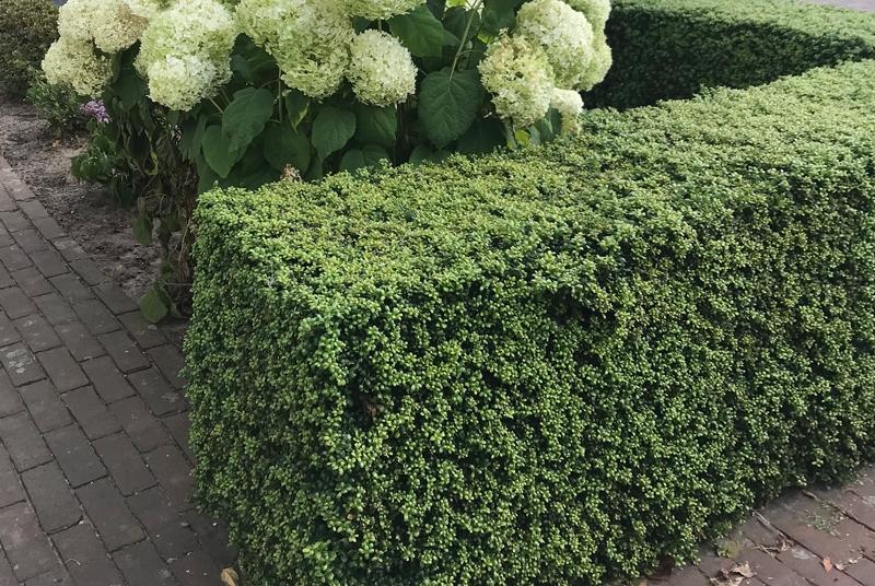 kolff plants buchsbaum ersatz kolff plants. Black Bedroom Furniture Sets. Home Design Ideas